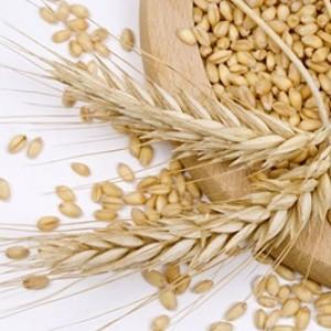 Зерно пшеницы при диабете