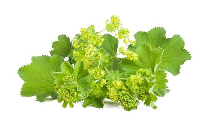 Лечебные свойства травы манжетки при сахарном диабете