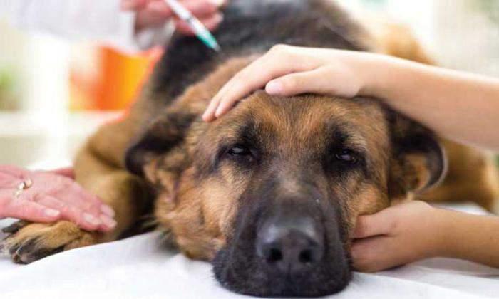 По возможности уколы инсулина должны совпадать с кормлением животного