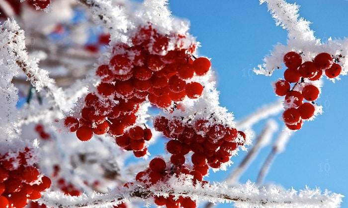 Черноплодная и красная рябина при сахарном диабете