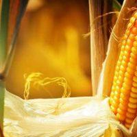 Можно ли кукурузу при диабете