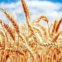 Можно ли пшеницу при диабете